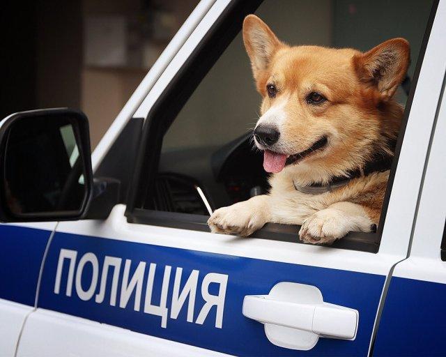полицейский пес корги рыжий