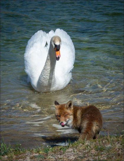 лиса и лебедь